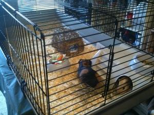 Piggies in big cage